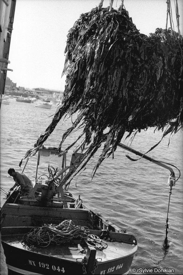 Récolte de laminaires au scoubidou – Finistère Nord