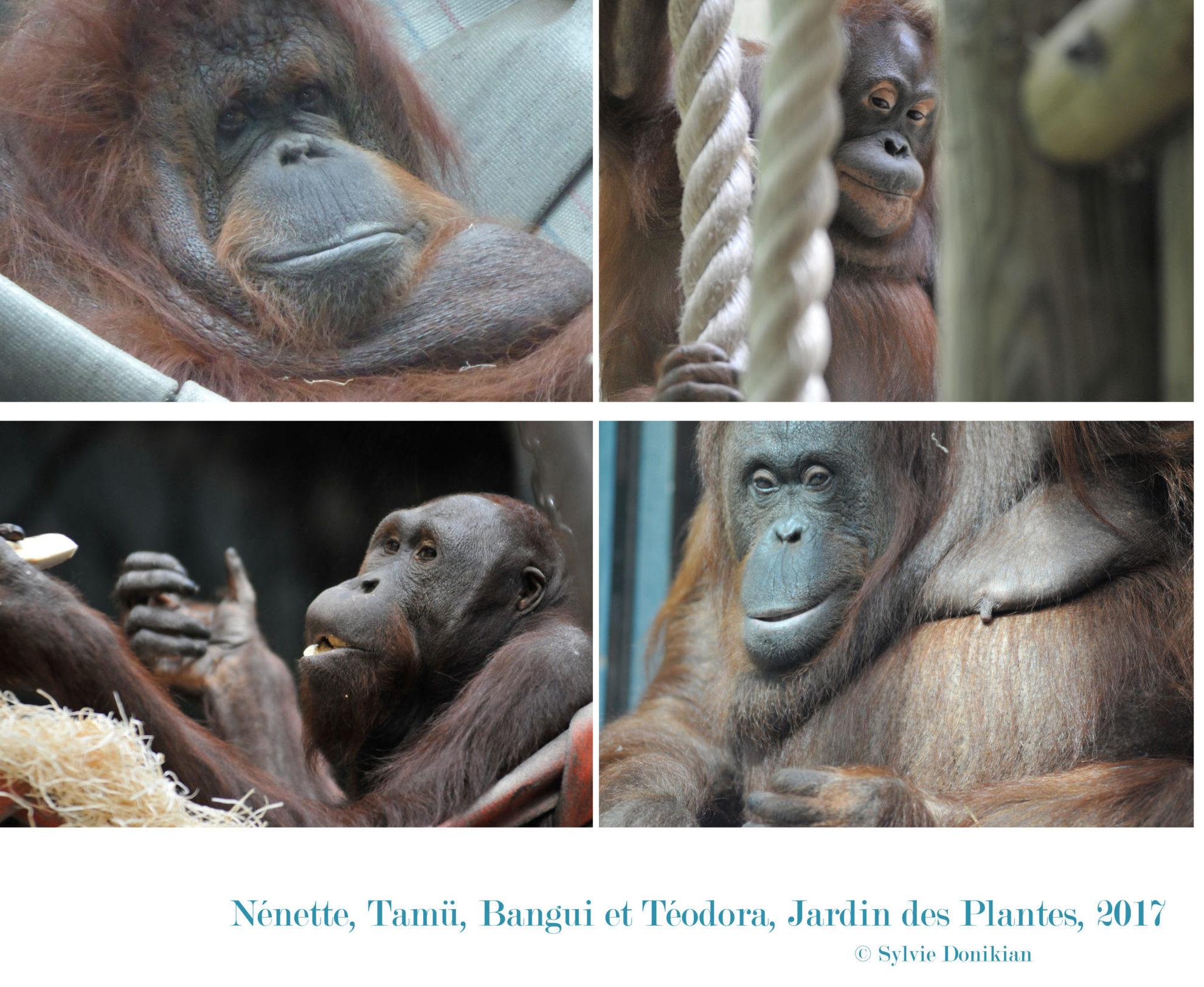Quatre orangs-outans
